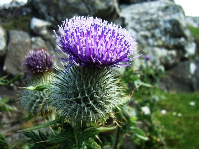 scotch_thistle_ardnarmurhcan